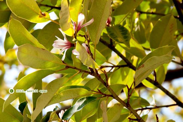 オガタマの花