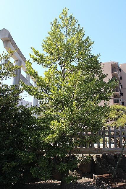 白旗神社のオガタマの木