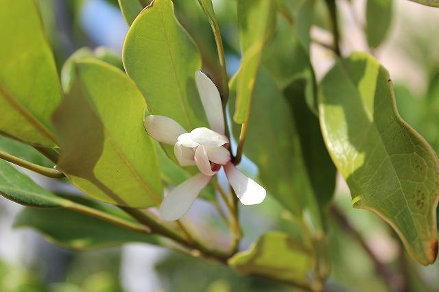 オガタマの花2