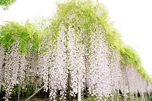 弁慶藤(紫色)