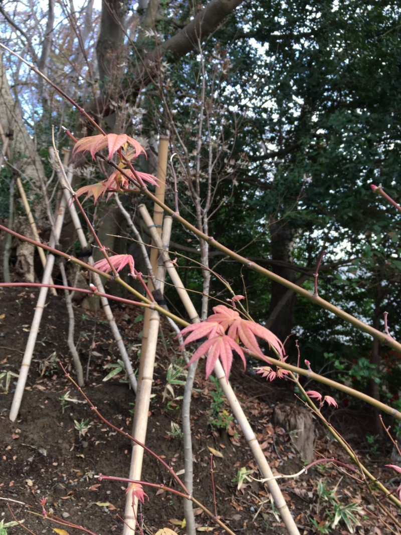 大盃紅葉。淡い色合いですが、寒暖差などのストレスが少ないのかもしれません。